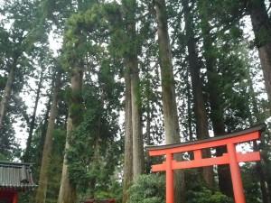 箱根神社 杉