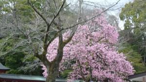 富士山本宮浅間大社 桜