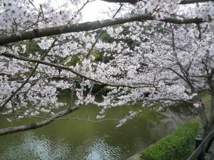 安房神社 池と桜
