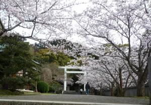 安房神社 鳥居と桜