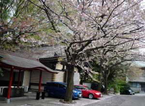 日枝神社 桜と手水舎
