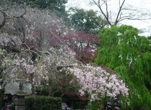 深大寺 桜