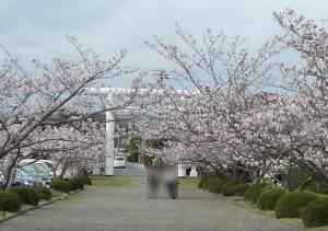 安房神社 桜参道