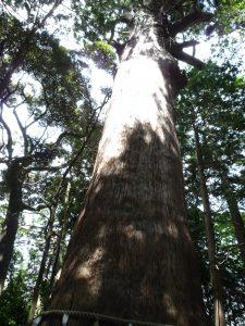 麻賀多神社 大杉2